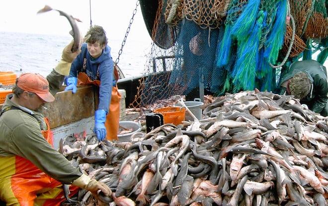 A tenyésztett halak fogják kipusztítani a vadon élőket?